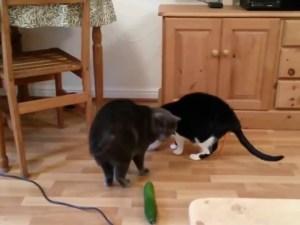 سبب خوف القطط من الخيار