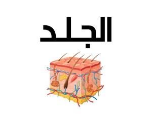 رتب العبارات التالية متسلسلة والتي تصف دور الجلد في تنظيم درجة حرارة الجسم