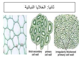 اي الخلايا النباتية التالية لا تستطيع الانقسام