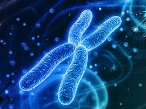 تتضاعف الكروموسومات خلال دورة الحياة في الطور الانفصالي