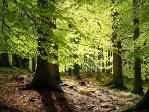 يعتبر شجر الزان والبلوط من أهم الأشجار التي يستخرج منها الخشب اللين