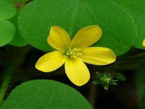 تصنف النباتات ذوات الفلقتين من