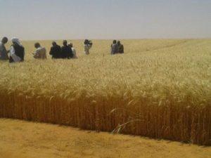 ارباح مشروع زراعة القمح في السعودية