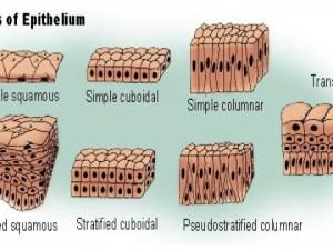 كيف تتغذى الانسجة الطلائية في جسم الانسان