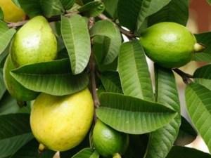 فوائد ورق الجوافة تقرير كامل عن فوائد أوراق الجوافة