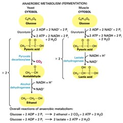Stages Of Glycolysis And Fermentation Diagram 49cc Scooter Wiring Fhs Bio Wiki This Is A Anaerobic Metabolism Which Also Known As Showing Possible Products Result It Shows How Atp Nadh Energy