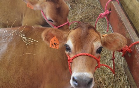 Macon County Fair 2016: Heifer Shows
