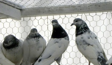 Pigeons are hated by some and loved by other New Yorkers
