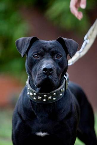 """Midnight Black Pitbull : midnight, black, pitbull, BLOODLINES?, Mariano, Peinado., ESPAÑOL), Screen, Resolution, Pixels, """"Bloodlines"""", Exist, Breed, American, Terrier, (APBT, BULL),, Either, Other, Animal, Species."""