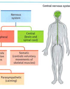 The brain and spinal cord form central nervous system cns body   decision maker peripheral pns is responsible for gathering also ap psychology module rh fiatlux day