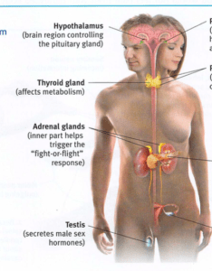 The endocrine system   glands secrete another form of chemical messengers hormones which travel through bloodstream and affect other tissues also ap psychology module rh fiatlux day
