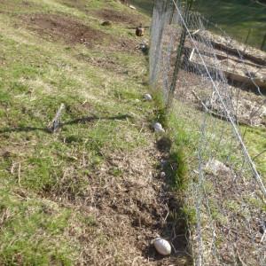 P1000942 goose eggs