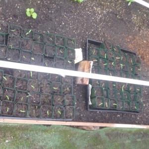 P1010116 tomato starts