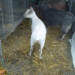 P1010155 sheared Mauve