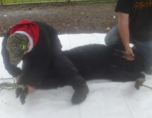 P1010160 shearing alpaca