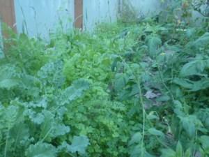 P1020327 kale, lettuce weeds
