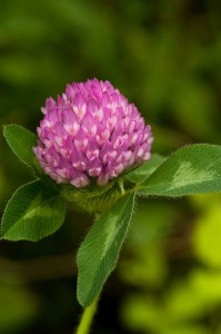 red clover for fibroids