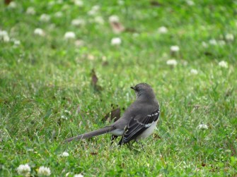 A mockinbird turn