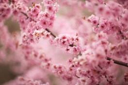 close_up_of_cherry_blossoms_12222692-M