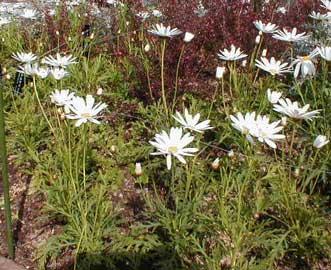 Margarita Margaritn  Chrysanthemum frutescens