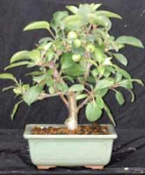 Manzano chino  Malus halliana  BONSAI