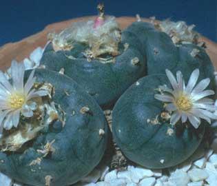 Peyote Botn de Mezcal Jcore  Lophophora williamsii