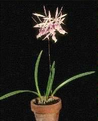 Epidendrum Orqudeas estrella  Epidendrum spp