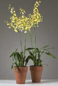 Oncidium Dama danzante  Oncidium spp