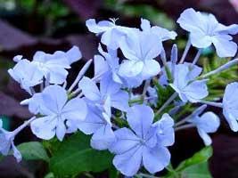 Celestina, Jazmín azul, Plumbago, Jazmín del Cabo, Jazmín del cielo, Celestinas, Jazminero azul, Azulina, Jazmín celeste