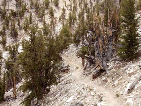 8 of the Oldest Trees in the World