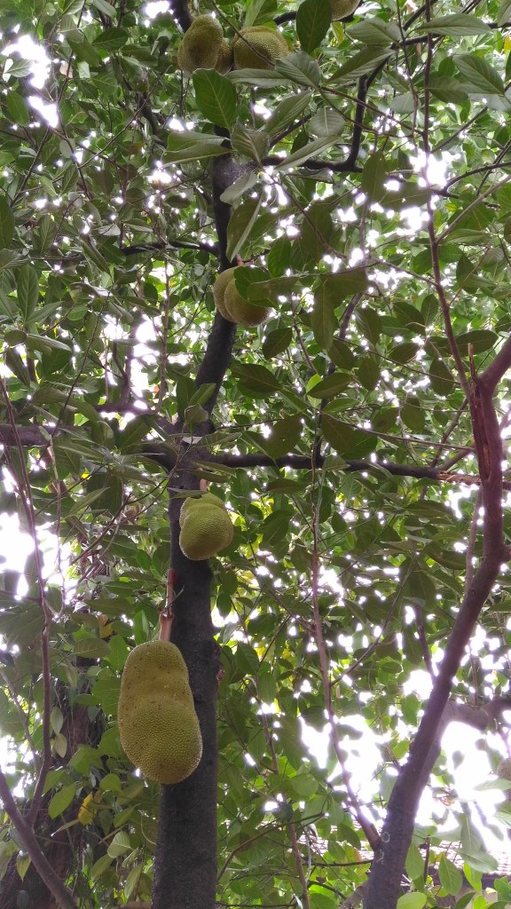 Jackfruit tree known as plavu