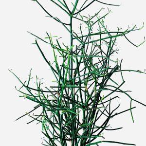 Pencil Cactus