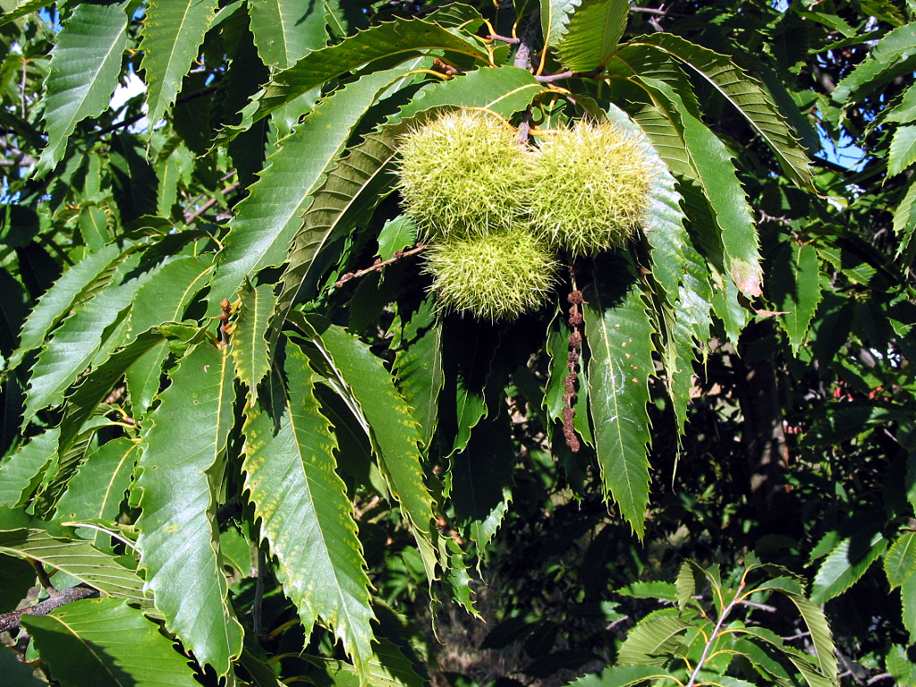 temperate climate permaculture plants chestnuts