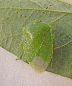 Adult green stink bug (T. Baute, OMAFRA)