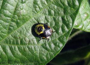 Green stink bug nymph (H. Bohner, OMAFRA)
