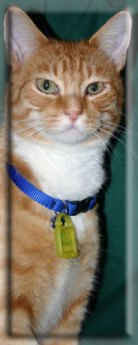 An orange and white tabby cat with a blue collar.