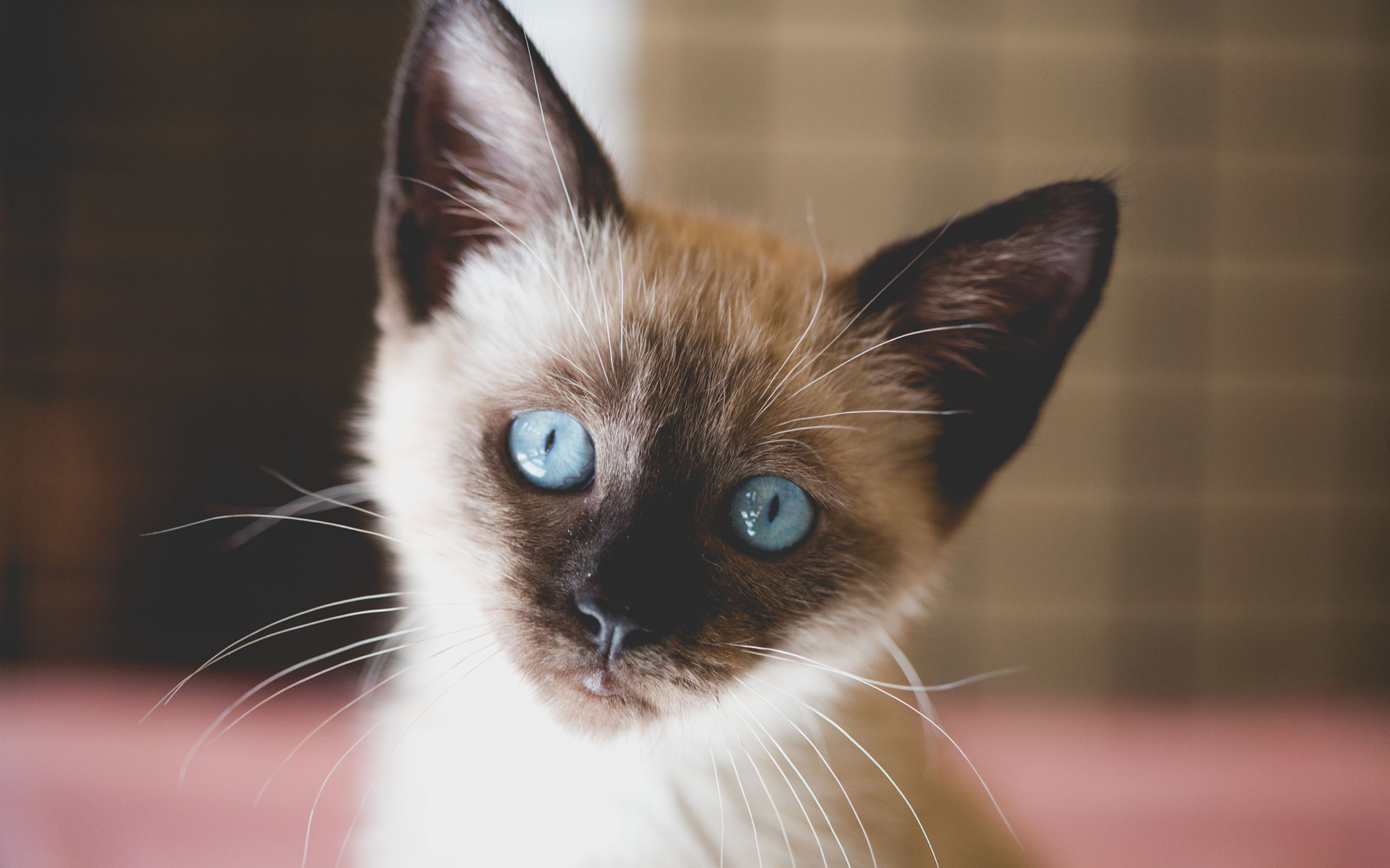 A Siamese kitten with bright blue eyes