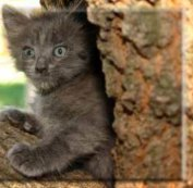A Russian Blue kitten.