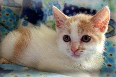 A white and orange kitten