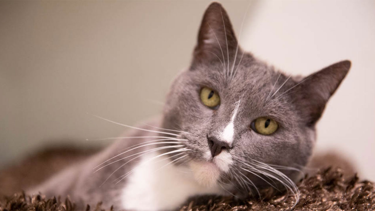 Buzz, a grey and white cat.