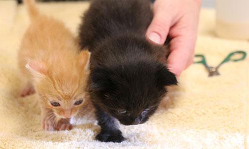 An orange kitten and a black kitten.