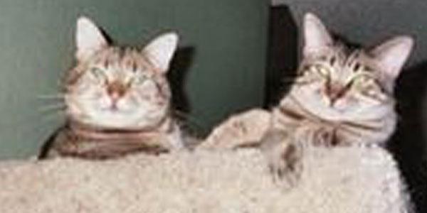 Angel and Sebastian, two tabby cats