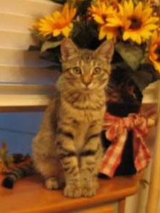 Tiki, a golden tabby kitten.