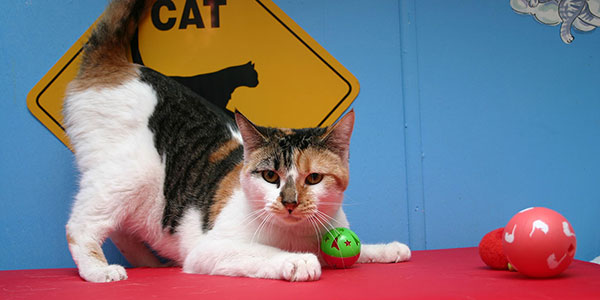 Babe, a calico cat with a ball.
