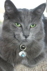 Levi, a grey cat with green eyes.