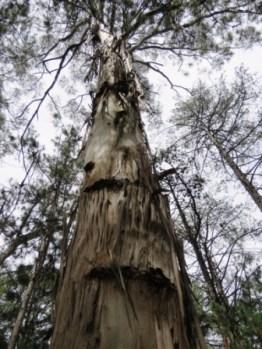 Eucalyptus globulus globulus