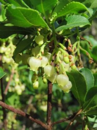 flowers of Irish Strawberry Tree