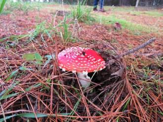 Amanita muscaria - Fly Agaric