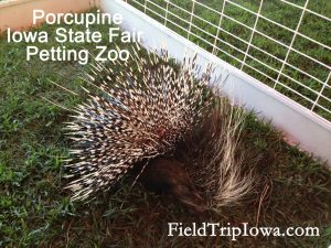 Porcupine at the Iowa State Fair Petting Zoo