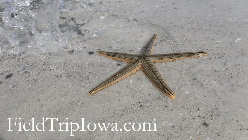 Star fish in the Gulf of Mexico at Bean Point on Anna Maria Island Florida.